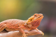 Close up bearded dragon australian lizard on hand Stock Photo