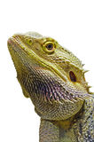 Close-up of the Bearded Dragon head Royalty Free Stock Images
