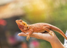 Close up bearded dragon Pogona Vitticeps australian lizard on hand. Selective soft focus royalty free stock photography
