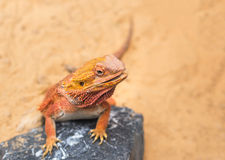 Close up bearded dragon Pogona Vitticeps australian lizard. Selective soft focus stock photography