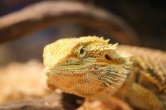 Close up bearded dragon. Stock Photo