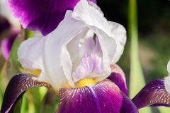 Close-up of a bearded iris at full bloom. Bearded iris, a close-up of a bearded iris at full bloom, this is a close-up of a bearded iris with white petals and Stock Photography