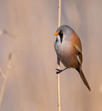 Close-up of the Bearded Tit. A Bearded Tit (Panurus biarmicus) clinging to the reed at Llobregat nature park, Spain Stock Images