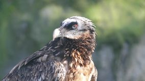 Close-up of a bearded vulture stock footage