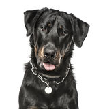 Close-up of Beauceron panting, 16 months old Stock Photography