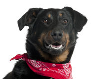 Close-up of Beauceron wearing red handkerchief Royalty Free Stock Photo