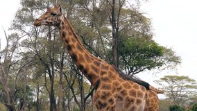 Close Up Of A Beautiful African Giraffe Walks On The Background Of Acacias