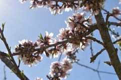 Close-up of Beautiful Almond Blossoms, Nature, Macro. Floral Background stock photos