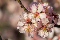 Close up of beautiful almond flowers Stock Photo