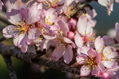 Close up of beautiful almond flowers Royalty Free Stock Photo