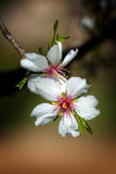 Close up of beautiful almond flowers in spring Stock Photos