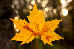 Close-up of a beautiful anf colorful autumn leaf Royalty Free Stock Images