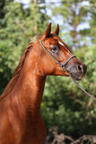 Close-up beautiful arabian horse head on natural background Stock Photography