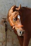 Close-up beautiful arabian horse head on white background Stock Photo