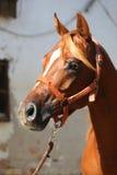 Close-up beautiful arabian horse head on white background Royalty Free Stock Photos