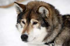Portrait of a brown Siberian Husky Royalty Free Stock Photos