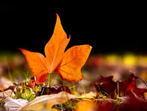 Close-up of  a beautiful autumn leaf on the floor Stock Image