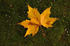 Close-up of a beautiful autumn leaf on the ground covered of mos Royalty Free Stock Image