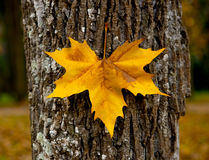 Close-up of a beautiful autumn leaf on a trunk of a tree Royalty Free Stock Photography
