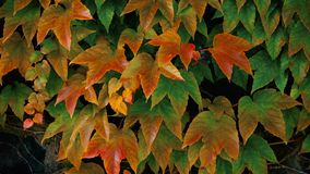 Close up of beautiful autumn red ivy leaves. Covering old garden wall stock video footage