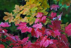 AUTUMN-FALL- Brightly Colored Maple Leaves in New York royalty free stock photography