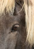 Close up beautiful big bright dark eye of icelandic horse with with eyelashes and blond mane. Close up beautiful big bright dark eye of icelandic horse with stock photography