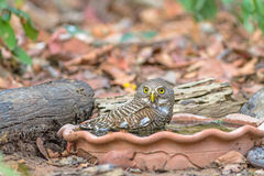 Close up beautiful bird  Asian Barred Owlet drinking water on tub. Close up beautiful bird  Asian Barred Owlet Glaucidium cuculoides is a species of true owl Stock Images