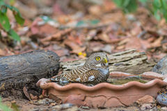 Close up beautiful bird  Asian Barred Owlet drinking water on tub. Close up beautiful bird  Asian Barred Owlet Glaucidium cuculoides is a species of true owl Royalty Free Stock Photo