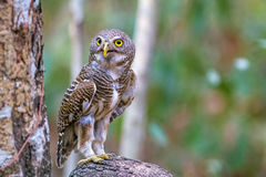 Close up beautiful bird  Asian Barred Owlet Glaucidium cuculoides. Is a species of true owl standing on branch Stock Image