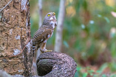 Close up beautiful bird  Asian Barred Owlet standing on branch. Close up beautiful bird  Asian Barred Owlet Glaucidium cuculoides is a species of true owl Stock Images
