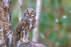 Close up beautiful bird  Asian Barred Owlet standing on branch. Close up beautiful bird  Asian Barred Owlet Glaucidium cuculoides is a species of true owl Stock Photos