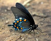 Pipevine Swallowtail Butterfly Close-up. Close-up of a beautiful black and blue pipevine swallowtail butterfly, showing the beautiful orange and blue of the royalty free stock photography