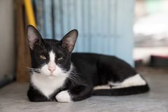 Close up beautiful black cat, white marks with sleepy face lyin royalty free stock image