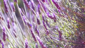Close Up Beautiful Blooming Lavender Flowers Swaying In The Wind stock video