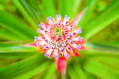 Close-up of beautiful blooming pineapple, selective focus Royalty Free Stock Photo