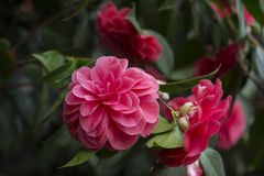 Closeup of blooming Camellia japonica royalty free stock image