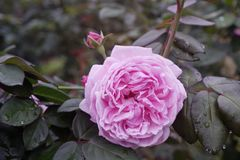 Close-up beautiful blooming pink rose in garden stock photography