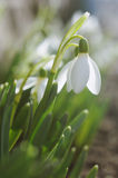 Close up beautiful blooming snowdrops Stock Images