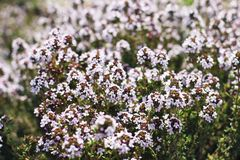Close up beautiful blooming thyme Thymus officinalis. Herbal flower field in outdoor garden. Medicinal plant, edible. Perennial culinary herb, member of min stock images