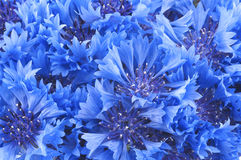 Close up of beautiful blue flower of cornflower Stock Photos