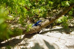 Close up of a beautiful blue iguana posing over a branch inside of a forest in san Andres beach.  Royalty Free Stock Photography