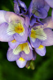 Close up of beautiful blue purple Freesia flowers Stock Photos