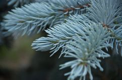 Close up of blue spruce branch on blurred background stock photos