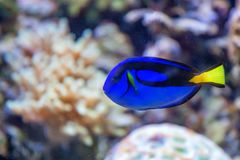 Blue regal tang or Paracanthurus hepatus in tank. Close up beautiful blue surgeonfish or Paracanthurus hepatus in aquarium Royalty Free Stock Photos