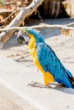 Close up of a macaw. Close up of a beautiful blue yellow macaw in a birdpark royalty free stock photography