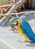 Close up of a macaw. Close up of a beautiful blue yellow macaw in a birdpark royalty free stock images
