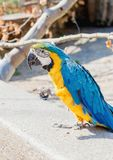 Close up of a macaw. Close up of a beautiful blue yellow macaw in a birdpark royalty free stock image