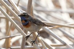 Close-up of beautiful bluethroat. luscinia Svecica standing on the reed. Male bluethroat. Close-up of beautiful bluethroat. luscinia Svecica standing on the Stock Image