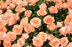 Close-up of a beautiful bouquet of orange roses Royalty Free Stock Photography