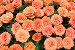 Close-up of a beautiful bouquet of orange roses Stock Photo